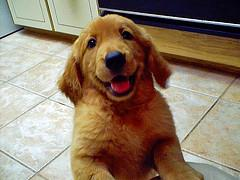 training puppies, Golden Retriever puppy smiling