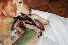 whelping puppies, Golden Retriever removing membrane sac from newborn pup