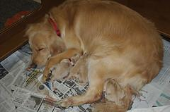 whelping puppies, Golden Retriever with newborn puppies