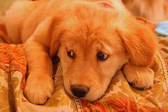 puppy chewing, Golden Retriever pup giving sad eyes look
