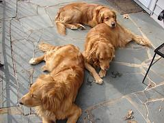 puppy chewing, 3 Golden Retrievers laying outside on porch