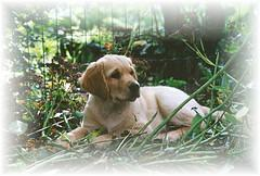 training puppies, Golden Retriever pup laying in the woods