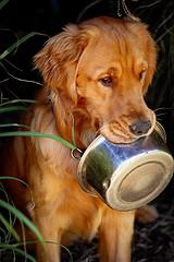 Golden Retriever holding his food bowl