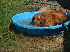 Golden Retriever blowing bubbles in childs swimming pool