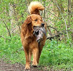 puppy chewing, Golden Retriever carrying game back to owner