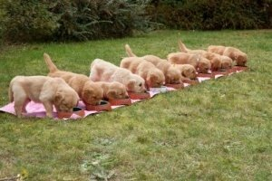 puppy weaning, Golden Retrievers puppies lined up to eat