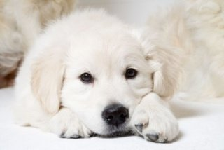 Golden Retriever laying quietly