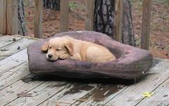 dog worms, Golden Retriever puppy laying down