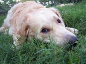 Golden Retriever laying in grass