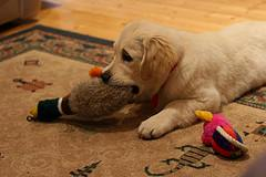 puppy teething, Golden Retriever puppy chewing a toy