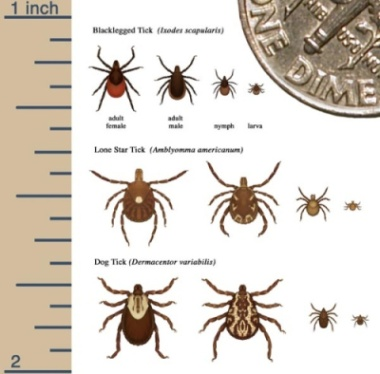 different types of ticks chart for size