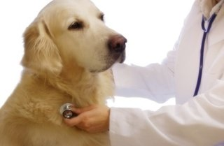 Golden Retriever being examined by a vet