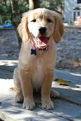 teaching sit, young Golden Retriever puppy sitting