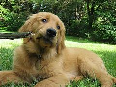 Golden Retriever puppy chewing on a stick